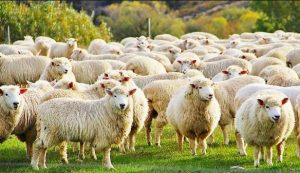 Belajar Ternak Domba Tanpa Ngarit
