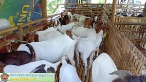 Pelatihan Ternak Kambing Yogyakarta