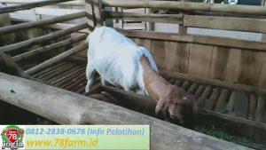 Sekolah Ternak Kambing Potong Yogyakarta