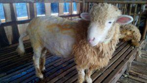 Penataran Peternakan Domba Garut Terbesar Yogya